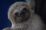 Baby sloth in Costa Rica